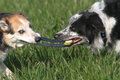 Pets playing Tug-of-War Royalty Free Stock Photo