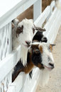 petting zoo goats Royalty Free Stock Photo