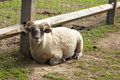 Petting zoo a sheep with horns relaxes in a Royalty Free Stock Image