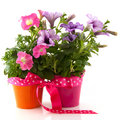 Petunia in colorful buckets as a gift Stock Photography