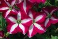 Petunia 'Easy Wave Burgundy Star' Royalty Free Stock Photo
