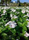 Petunia field of in the garden in beautiful sunlight Royalty Free Stock Images