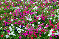 Petunia field in the summer sun Royalty Free Stock Photo