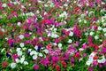 Petunia Field