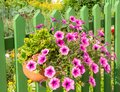 Petunia flower deco at a wooden fence Royalty Free Stock Photo