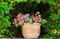 Petunia flower pot with flowers among the lush foliage Royalty Free Stock Photos