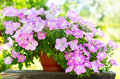 Petunia flower in a pot Royalty Free Stock Photo