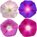 Petunia Flowers Collection Iso...
