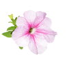 Petunia flowers isolated on white beautiful flower Stock Photos