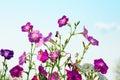 Petunia flowers on sky background Royalty Free Stock Photo
