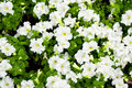 Petunia flowers white with green leaves Royalty Free Stock Photo