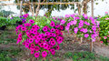 Petunia hanging on baskets in thailand Royalty Free Stock Photos