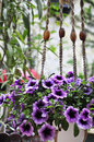 Petunia pergola in garden Stock Photography