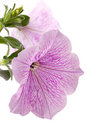 Petunia on white Stock Photography
