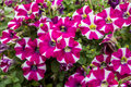 Petunia white and pink colored Royalty Free Stock Photography