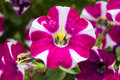 Petunia white and pink colored Stock Photos