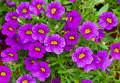 Petunia is a widely cultivated genus Royalty Free Stock Photo