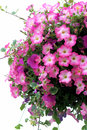 Petunias Stock Photography