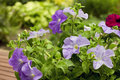 Petunias Royalty Free Stock Images