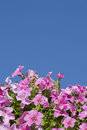 Petunias against the blue sky Stock Image