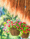 Petunias in hanging pots petunia hybrida vilm the for house decoration Royalty Free Stock Image