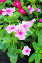 The petunias pink flowers in nature Stock Image