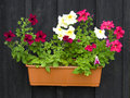 Petunias in pot Royalty Free Stock Photos