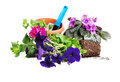 Petunias and violets flowers Stock Images