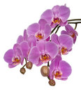 Phalaenopsis Royalty Free Stock Photo