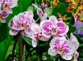 Phalaenopsis Blume orchid flowers at the Botanic Garden in Singapore Royalty Free Stock Photo