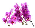 Phalaenopsis colorful pink orchid on a white background Stock Image