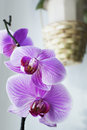 Phalaenopsis flowers orchid in a bright room amid flower pots Royalty Free Stock Photography