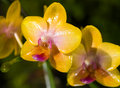 Phalaenopsis Hybrid Orchids Royalty Free Stock Photos