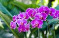 Phalaenopsis Inflorescence Royalty Free Stock Photography