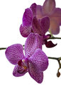 The Phalaenopsis Orchid