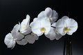 Phalaenopsis orchid on a black background butterfly Royalty Free Stock Photo