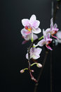 Phalaenopsis orchid on a black background butterfly Royalty Free Stock Photos
