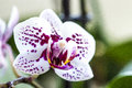 Phalaenopsis orchid flower beautiful blume or moth Royalty Free Stock Images