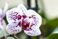 Phalaenopsis Orchid flower Royalty Free Stock Photo