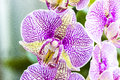Phalaenopsis orchid flowers beautiful blume or moth Stock Photo