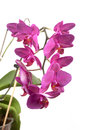 Phalaenopsis orchid flowers butterfly orchid isolated on white Stock Photos