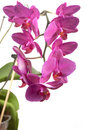 Phalaenopsis orchid flowers butterfly orchid isolated on white Stock Images
