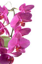 Phalaenopsis orchid flowers butterfly orchid isolated on white Royalty Free Stock Image