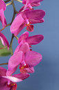 Phalaenopsis orchid flowers butterfly orchid over blue background Stock Photography