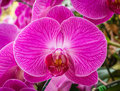 Phalaenopsis orchid hybrids. Beautiful close up pink orchid bloo Royalty Free Stock Photo