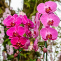 Phalaenopsis orchid hybrids. Beautiful pink orchid blooming in g Royalty Free Stock Photo