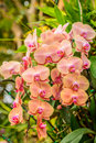 Phalaenopsis orchid hybrids. Beautiful yellow orchid blooming in Royalty Free Stock Photo