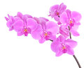 Phalaenopsis orchid isolated on white background Royalty Free Stock Photography