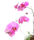 Phalaenopsis purple orchid on white background pink Stock Images