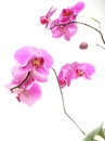 Phalaenopsis purple orchid on white background pink Stock Photography